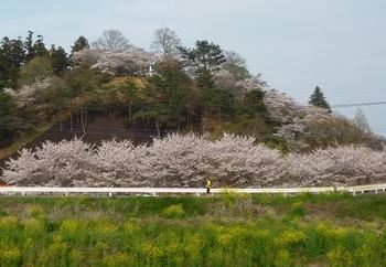 2016年4月錦着山の桜.jpg