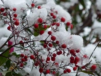 南天に雪1.jpg