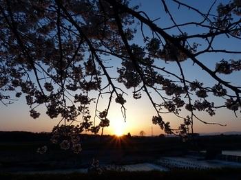 姿川堤の桜と夕陽.jpg