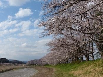 宮の桜.jpg