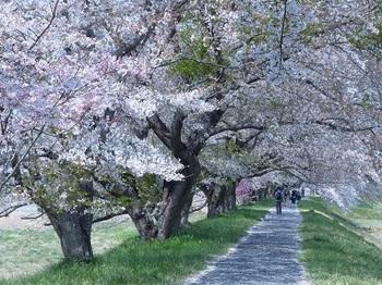宮の桜1.jpg