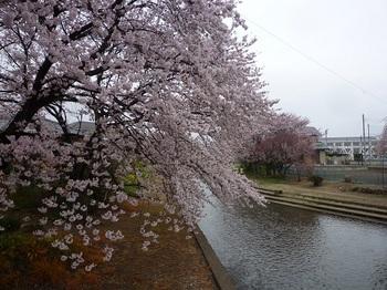 小平橋の桜(2016).jpg