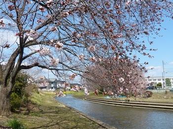 小平橋の桜2分咲き1.jpg