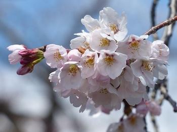 小平橋の桜2分咲き2.jpg