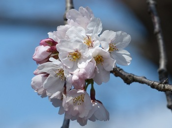 小平橋の桜2分咲き5.jpg