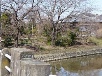 小平橋の桜7.jpg