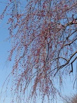小平橋の桜8.jpg