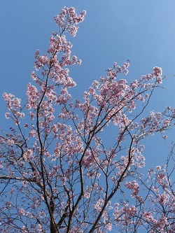 小平橋の桜9.jpg