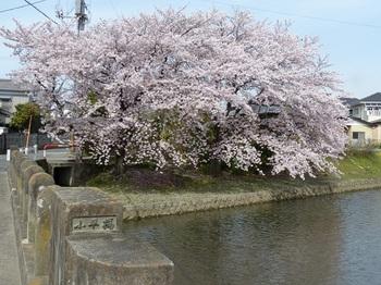 小平橋の桜撮り納め1.jpg