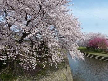 小平橋の桜撮り納め2.jpg
