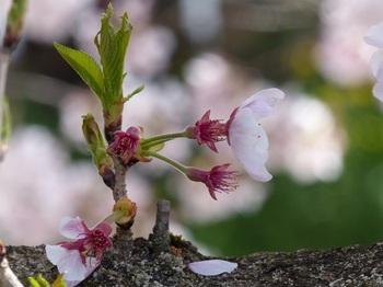 小平橋の桜撮り納め5.jpg