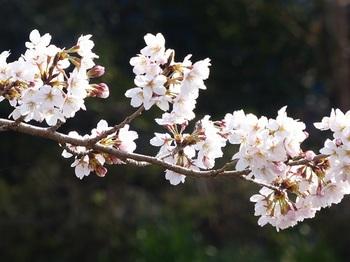小平橋の桜満開5.jpg