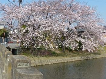 小平橋の桜満開1.jpg