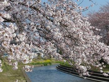 小平橋の桜満開2.jpg