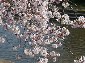 小平橋の桜満開3.jpg