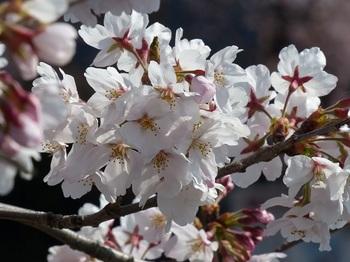 小平橋の桜満開4.jpg