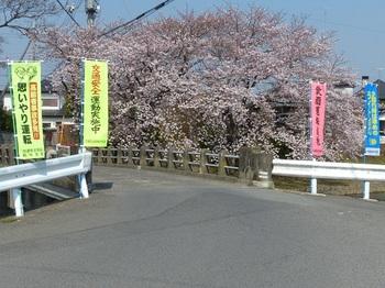 小平橋の桜満開6.jpg