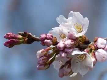 小平橋の桜開花5.jpg