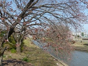 小平橋の桜開花1.jpg