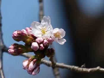 小平橋の桜開花3.jpg