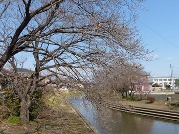 小平橋の桜1.jpg