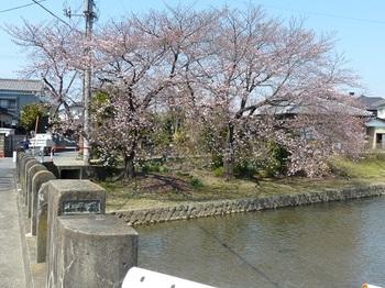 小平橋の桜5分咲き1.jpg