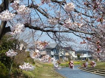 小平橋の桜5分咲き2.jpg