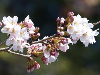 小平橋の桜5分咲き5.jpg