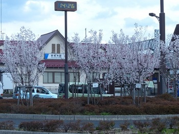 巴波桜4.jpg
