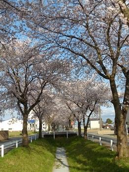新井町の桜.jpg