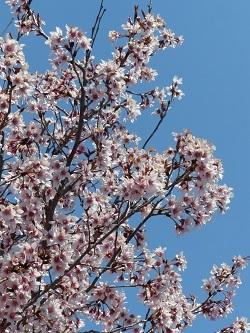 早咲きの桜1.jpg