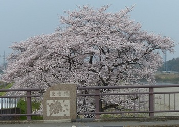 東雲の桜1.jpg