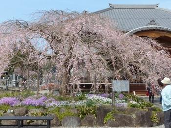 枝垂れ桜(成就院)1.jpg