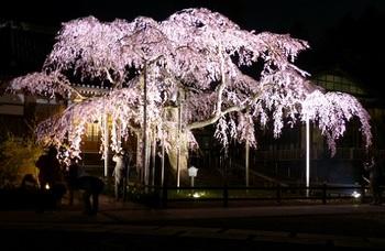 枝垂れ桜(太山寺)4.jpg