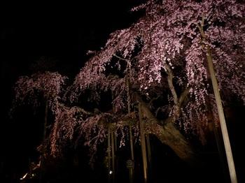枝垂れ桜(太山寺)5.jpg