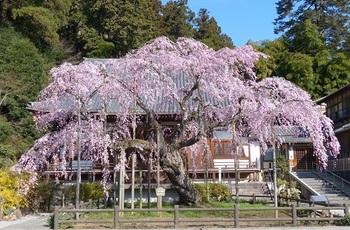 枝垂れ桜(太山寺)1.jpg