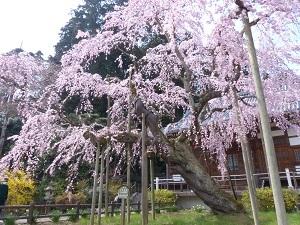 枝垂れ桜(太山寺)2.jpg