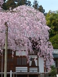 枝垂れ桜(太山寺)3.jpg