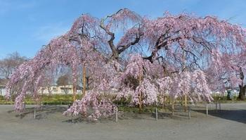 枝垂れ桜(長福寺)1.jpg