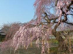 枝垂れ桜(長福寺)2.jpg