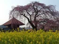枝垂れ桜(長福寺)3.jpg