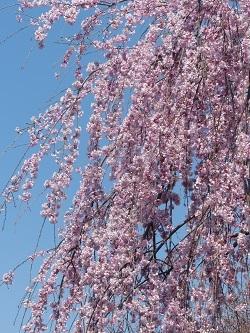 枝垂れ桜1.jpg
