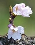 桜開花3.jpg