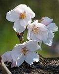 桜開花4.jpg