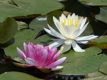 水連の花.jpg