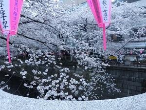 目黒川の桜6.jpg