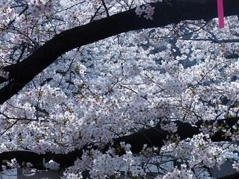 目黒川の桜9.jpg