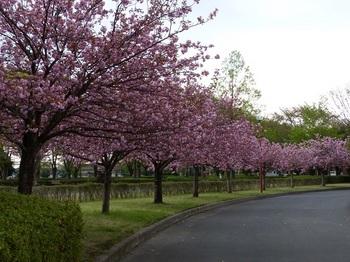運動公園の里桜6.jpg