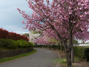 運動公園の里桜1.jpg
