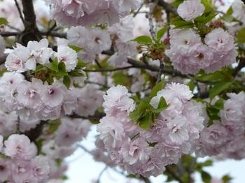 運動公園の里桜2.jpg